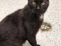 Jet (2184) is a 1 1/2 year old, neutered male, DSH