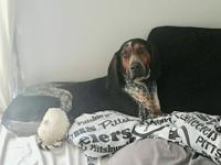 Jethro is a handsome, 2 year old Bluetick Coonhound in