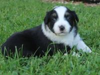 This Female Puppy is a black tri with a full collar,