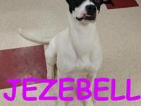 Jezabell is a one year old pointer mix who is extremely