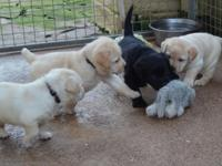 frhfgbf Lovely and sweet Labradoodle puppies male and