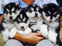 jhyu Charming male and female Siberian pups ready to go