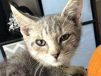 Jigsaw's story Jigsaw is a DSH Grey Tabby Male that was