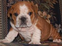 Jim Bob is a sable fawn male English Bulldog puppy with