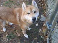 Jindo - Clifford - Medium - Adult - Male - Dog This is