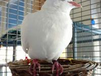 Hi, my name is Jingle and I'm a white domestic dove. A