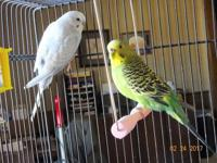 Frosty & Jingle are a sweet pair of parakeets looking