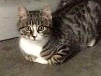 Jingles's story Jingles is a gray spotted Tabby with