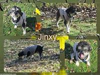 Jinxy's story Jinxy is a 2 year old Schnauzer mix with