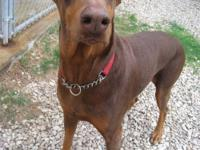 Very sweet 5 1/2 yr old female dobe. Cropped, docked, &