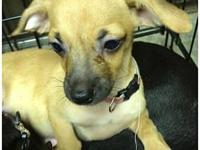 Jo's story Jo is a 15 week old Chihuahua who came to us