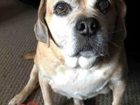 Joey, the 11 year old Puggle, is a great dog! He is