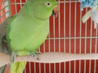 Joey is an Indian Ringneck Parakeet. She is not very