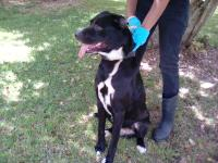 2-3 yr old male lab mix about 50-60 pounds. John is