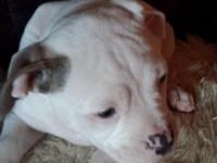 Johnson American Bull Dog Puppy.One white female with