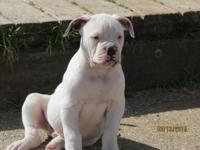 ARF registered puppies. 1 male 100% Real Johnson