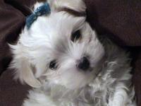 Teacup and Toy Size Malti-poo Puppies readily