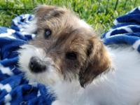 Hi! I'm Jojo. I'm a 10 week old terrier/shih tzu mix
