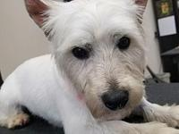 westie puppies for sale in Nebraska Classifieds & Buy and Sell in