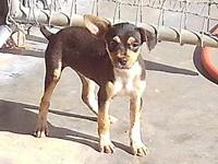 Jolene's story Jolene is a very sturdy rat terrier. She