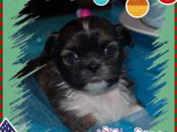 JOLLY is an AKC Shihtzu. He was born 11-6-2014 and will