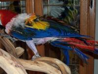 Jonnie is a female Scarlet Macaw. She came to us as a