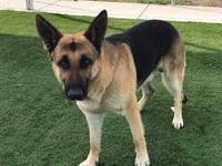 JORDY-- Male, German Shepherd mix,