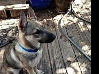 JOSH 18's story Update: Josh is typical GSD puppy. New-