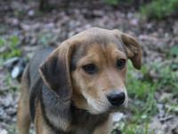 Meet Joshua! Part of the Beautiful Beagles litter,