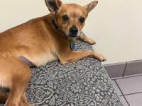 Josie is a sweet chi mix about 2 or 3 years old and is
