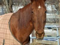 Josie is a beautiful 18 year old chestnut Thoroughbred