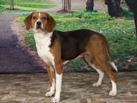 Journey is a sweet hound/beagle mix female, approx. 4