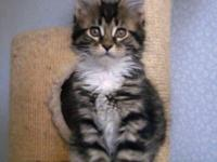 Joy pure breed Maine Coon male kitten with championship