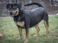 JOY is a happy & energetic 2 year old female Rottie-mix