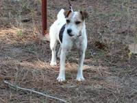 Registered female Jack Russell Terrier, 6 years old,