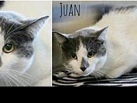 Juan's story Juan is a declawed, handsome boy who just