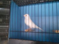 For sale canaries red factors, bronze colbalt, white