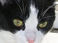 Judy's story I'm a sweet beautiful Tuxedo looking for