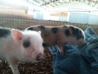1 Male and 1 Female mini pig for sale only 12 weeks old