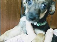 Julie's story Julie is a 13 week old Chihuahua mix who