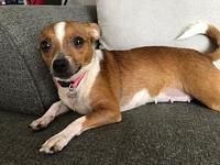Juliet's story Juliet 1 year old Chihuahua Mix. She is