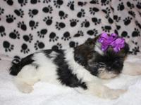 Juliette, is a Cute, Adorable Female Shih Tzu Puppy for