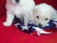 Breed-MALTIPOO 2 Females Both have shots & are wormed