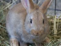 Jumper 2 Months Female Tan Flemish Giant A355991  Hi!