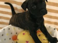 June is a female brindle Boston Terrier mix puppy.