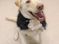 Meet June.  June is a 9 month  old yellow lab in search
