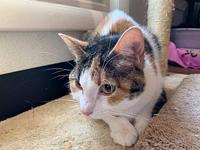 June's story Jane a female domestic short hair calico