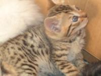 Ready to go in 2 weeks--Mother is TICA Bengal--father