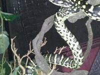 beautiful jungle carpet python over 4 ft gorgeous