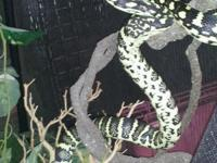 i have a beautiful jungle carpet python it is over 4 ft